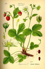 Fragaria vesca - Wikipedia