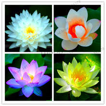 Buy <b>lotus</b> water plant and get free shipping on AliExpress.com