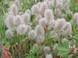 Trifolium arvense - Wikipedia