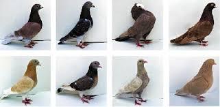 عکس, اشنایی با بیماریهای کبوترها و درمان آنها