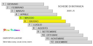 Silene italica subsp. sicula [Silene siciliana] - Flora Italiana
