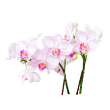 <b>Phalaenopsis</b> - Boonta Flowers
