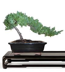 juniper bonsai tree small bonsai tree juniperus procumbens web bought bonsai tree