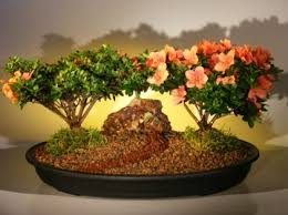 types of bonsai trees how to grow trees for sale taking care of bonsai trees bought bonsai tree