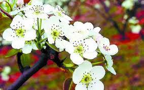 """""""一树梨花压海棠。""""图片 ????? ?? ??????"""