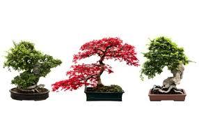 three ideas for bonsai tree bonsai tree care interior diversity bonsai tree interior