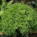 Images & Illustrations of brittle maidenhair fern