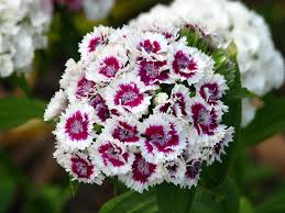 Dianthus barbatus - Wikipedia