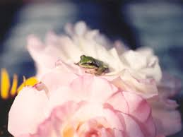 sapo y rosa