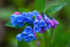 Image result for blue bells