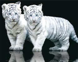 الفهود أكثر الحيوانات شراسة ورشاقة. Images?q=tbn:ANd9GcQInGoQaDlEh1M9BKbcRbqmpUyASn4nWM0be2_RKLID0ciTx3Jv67H6x8F5