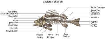 skeletons   my cyberwallin fish  the skeleton is made of cartilage or bones  most of the fins are not connected to the spine  but supported by muscles  the ribs are attached to the