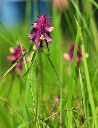 Crested Cow-Wheat (Melampyrum cristatum) · iNaturalist.org
