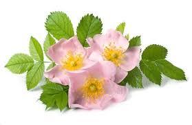 Rosa canina: proprietà, uso, controindicazioni - Cure-Naturali.it