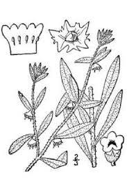 Plants Profile for Asperugo procumbens (German-madwort)