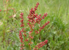 red sorrel