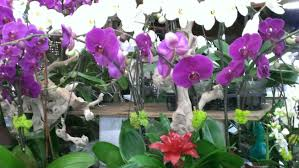 day orchid decor: a colorful red bloom on this tropical bromeliad stands amidst graceful elegant orchid bloomsmany mothers day celebrants want to give long lasting