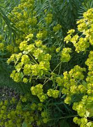 Euphorbia seguieriana subsp. niciciana (Siberian Spurge)