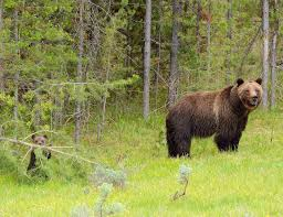 helping grizzlies return to their historical home the national helping grizzlies return to their historical home the national wildlife federation blog