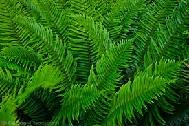Image result for sword fern