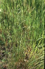 Festuca trachyphylla - Online Virtual Flora of Wisconsin