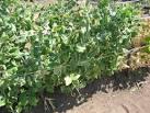 Посадить горох в домашних условиях