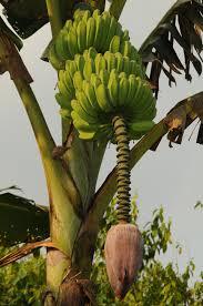 Manfaat dan khasiat buah pisang