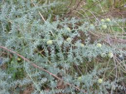 Asparagus acutifolius - Wikipedia