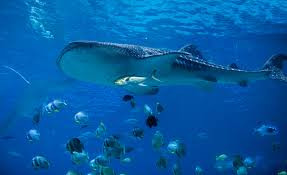 will i see a shark will i see a shark your shark forecast for photodune 12532902 whale shark l min