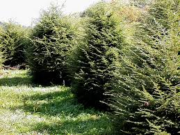 Image result for hemlock trees
