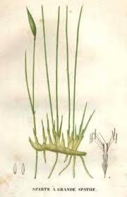 Lygeum spartum Albardine, Lygeum PFAF Plant Database