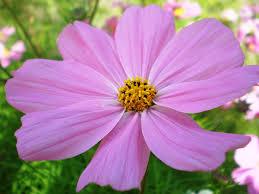 Cosmos bipinnatus - Wikipedia
