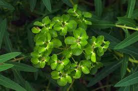 Euphorbia ceratocarpa   horned spurge/RHS Gardening