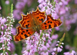 Image result for butterfly u.k.
