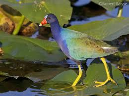 Image result for purple gallinule