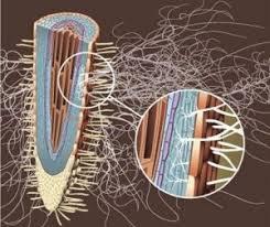 RISULTATI Immagini per micorrize