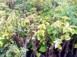 Hasil gambar untuk tanaman bougenville