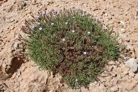 Limonium acutifolium subsp. tenuifolium, flora di Sardegna