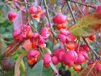 spindleberry tree