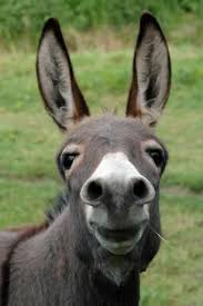 Image result for fun facts about donkeys