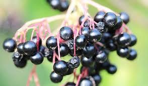 Imagini pentru fructe de soc