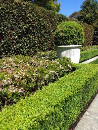 Small Picture Raphiolepsis Spring Pearl Perfect mid height border plant for