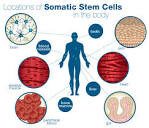 somatic cell