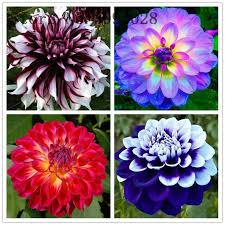 <b>20 Pcs</b>/<b>bag</b> Imported <b>Dahlia</b> Bonsai,Charming <b>Dahlia Flower</b> ...