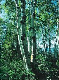 <b>2009</b> Guide to the common native trees and shrubs of Alberta