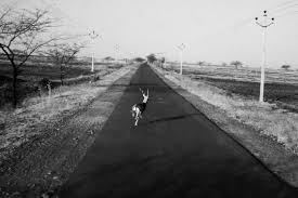 dushkal drought in marathwada photo essay by harsha vadlamani marathwada 30 2016 a blackbuck sprints across the road near belewadi phata in beed maharashtra farmers say the drying up of watering holes