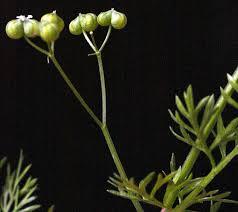 Bifora testiculata (L.) Spreng. ex Schult. | Flora of Israel Online