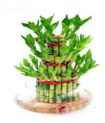 dealing feng shui: gadgetfreak fengshui  layer lucky bamboo plant