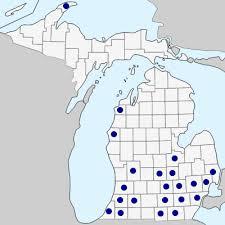 Brassica nigra - Michigan Flora
