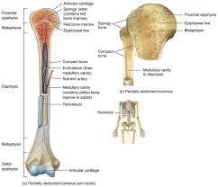 diagram of a long bone long bone diagram labeled human anatomy        diagram of a long bone long bone diagram unlabeled human anatomy diagram